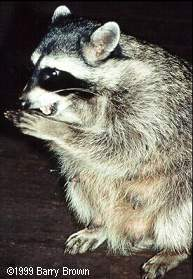 lactating female raccoon � Barry Brown
