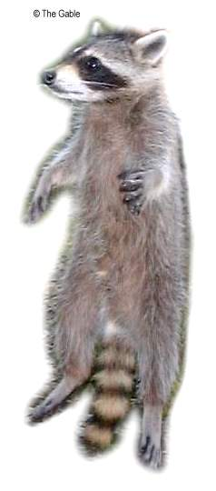 Raccoon Skeleton Amp Anatomy