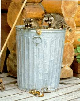 Raccoons In The Garbage Help From The Gable S Raccoon World