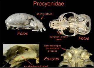 Raccoon - Wikipedia